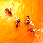 Fighting Fruit Fly