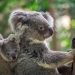 KOALAS NOT OUT OF THE WOODS Is the Platypus next?