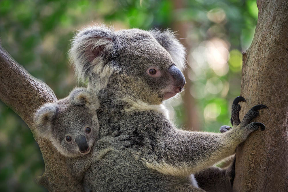 OUR KOALAS RULE… OK?